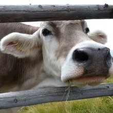 Indian man arrested for killing cow