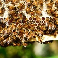 Giant swarm of bees descends on grandmother's car to free queen trapped inside.