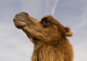 story image about camel and Camels